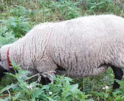 幸せそうな羊たち・・・みているだけで癒される