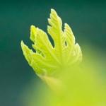 植物写真芽